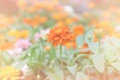 Fiori arancio di zinnia Fotografie Stock Libere da Diritti