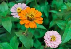 Fiori arancio e rosa nel giardino Fotografia Stock