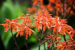 Fiori arancio esotici nello zoo in Tenerife, Spagna Fotografia Stock