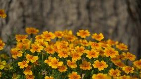 fiori arancio luminosi in giardino Piccoli fiori gialli in parco Video del metraggio di HD video d archivio
