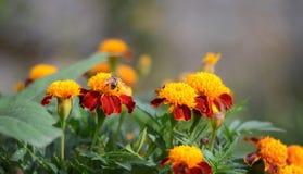 Fiori arancio nel giardino Fotografie Stock Libere da Diritti
