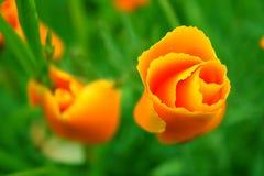 Fiori arancioni Immagine Stock Libera da Diritti