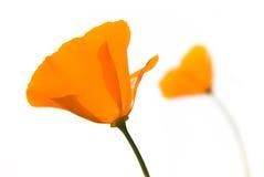 Fiori arancioni Fotografie Stock Libere da Diritti