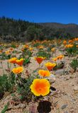 Fiori arancioni da un lago immagine stock libera da diritti