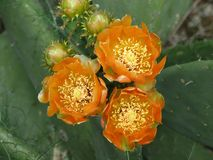 Fiori arancioni del cactus immagine stock libera da diritti