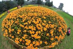 Fiori arancioni del giglio Fotografia Stock Libera da Diritti