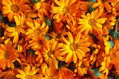 Fiori arancioni del tagete Fotografie Stock Libere da Diritti