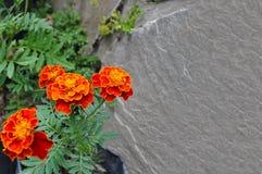 Fiori arancioni del tagete Fotografie Stock