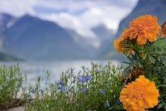 Fiori arancioni del tagete contro una valle di Lodalen fotografia stock libera da diritti