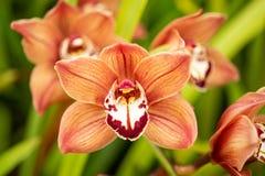 Fiori arancioni dell'orchidea Immagine Stock