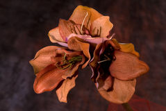 Fiori arancioni in fioritura Fotografia Stock Libera da Diritti