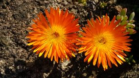 Fiori arancioni in fioritura Fotografie Stock Libere da Diritti