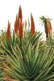 Fiori arancioni sulla pianta del Succulent dell'aloe immagini stock libere da diritti