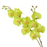 Fiori artificiali variopinti dell'orchidea isolati su fondo bianco Fotografia Stock