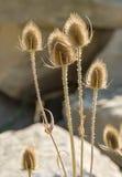 fiori asciutti del cardo Fotografie Stock