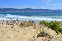 Fiori asciutti della spiaggia delle dune Fotografia Stock