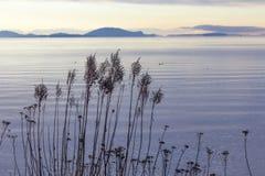 Fiori asciutti su litorale con la vista a San Juan Islands Fotografie Stock Libere da Diritti