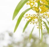 Fiori australiani dell'acacia della primavera Fotografia Stock