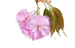 Fiori bassi di Sakura fotografie stock