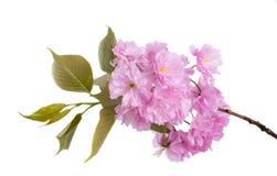 Fiori bassi di Sakura immagini stock libere da diritti