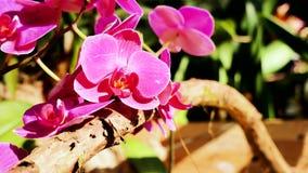 Fiori bei dell'orchidea che fioriscono nel giardino stock footage