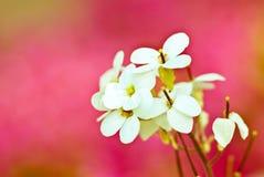 Fiori bianchi Fotografia Stock