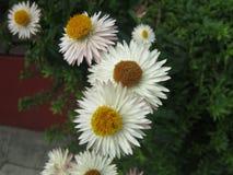 Fiori bianchi Immagini Stock