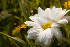 Fiori bianchi alla bella luce Fotografia Stock