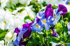 Fiori bianchi, blu e viola della pansé Fotografia Stock Libera da Diritti