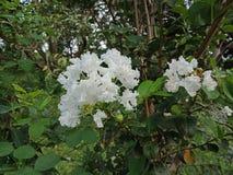 Fiori bianchi carta da parati del fondo della natura, Immagine Stock