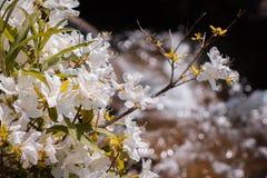Fiori bianchi che fioriscono entro un autunno dell'acqua un giorno di molla soleggiato fotografia stock
