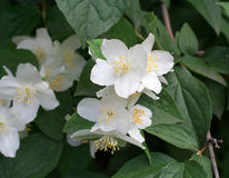 Fiori bianchi con il fondo delle foglie fotografia stock libera da diritti