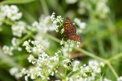 Fiori bianchi con l'alta farfalla del Fritillary del Brown Immagine Stock Libera da Diritti