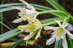 Fiori bianchi con le foglie verdi come fondo Fotografia Stock Libera da Diritti