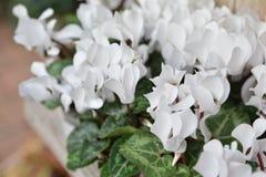 Fiori bianchi dei cyclamens Fotografia Stock