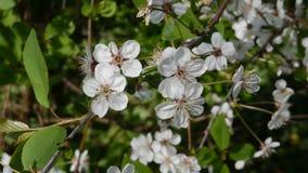 Fiori bianchi dei fiori di ciliegia un giorno di molla video d archivio