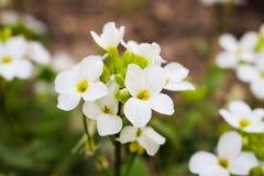 Fiori bianchi del arabis, fiori bianchi del fondo Immagine Stock