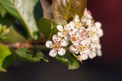 Fiori bianchi del aronia sbocciante Fotografia Stock