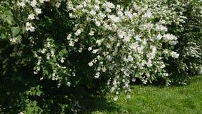 Fiori bianchi del bello gelsomino, giorno di estate Fiori nel vento archivi video