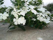 Fiori bianchi del Catharanthus con le foglie verdi Fotografia Stock Libera da Diritti