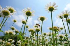 Fiori bianchi del crisantemo Fotografie Stock Libere da Diritti