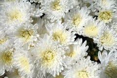 Fiori bianchi del crisantemo Fotografia Stock