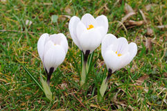 Fiori bianchi del croco Fotografia Stock