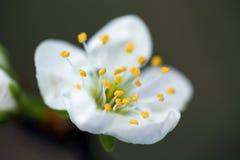 Fiori bianchi del fiore di ciliegia Fotografia Stock Libera da Diritti