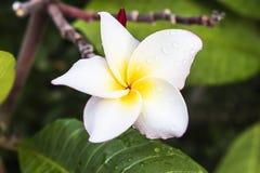 Fiori bianchi del frangipane in mezzo all'acqua piovana, a fresco gialli e luminosi e rinfrescare fotografia stock