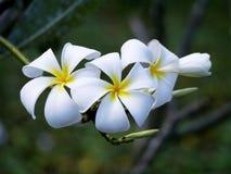 Fiori bianchi del Frangipani Immagini Stock