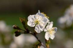 Fiori bianchi del fuoco selettivo della mela Fotografia Stock