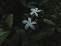 Fiori bianchi del gelsomino fotografia stock libera da diritti