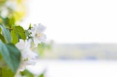 Fiori bianchi del gelsomino Immagine Stock