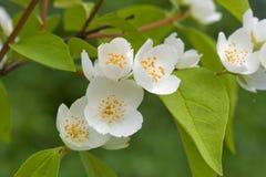 Fiori bianchi del gelsomino nel giardino Fotografia Stock